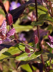 Krötenlilien (Tricyrtis)