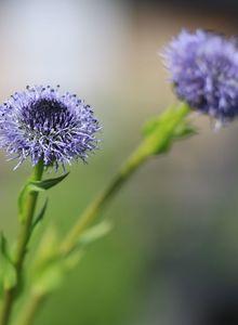 Kugelblumen (Globularia)