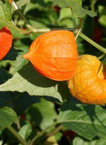 Nachtschattengewächse (Solanaceae)