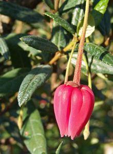 Crinodendron (Crinodendron)