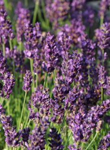 Lavendel 'Blue River' ®
