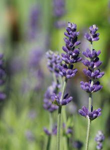 Lavendel 'Blue Scent'