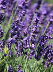 Lavendel 'Hidcote Blue' / 'Strain'