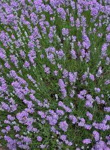 Lippenblütler (Lamiaceae)