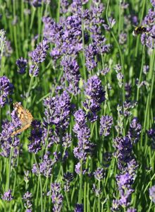 Lavendel 'Munstead'