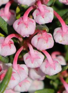 Lavendelheide 'Compacta'