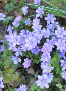 Leberblümchen (Hepatica)