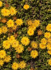 Mittagsblume (Delosperma)