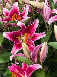 Lilienartige (Liliales)