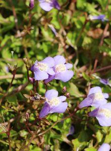 Gauklerblumengewächse (Phrymaceae)