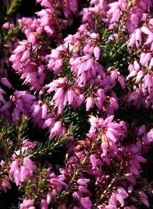 Märzenheide 'March Seedling'