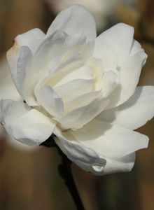 Magnolie 'White Rose'