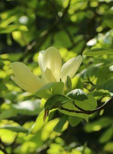 Magnoliengewächse (Magnoliaceae)
