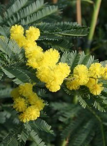 Akazien (Acacia)