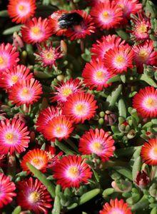 Mittagsblumengewächse (Aizoaceae)