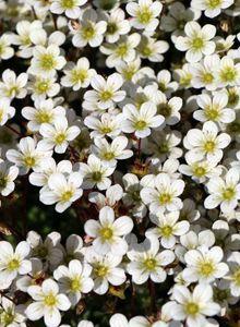 Moos-Steinbrech 'White Pixie'