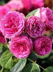 Nostalgie®-Edelrose 'Pink Piano' ®