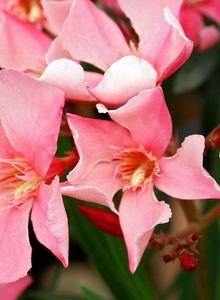 Oleander (Nerium)