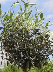 Ölbäume (Olea)