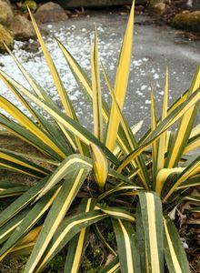 Palmlilie 'Color Guard'