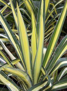 Palmlilien (Yucca)