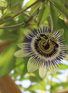 Passionsblumen (Passiflora)