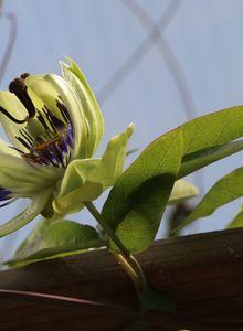 Passionsblumengewächse (Passifloraceae)