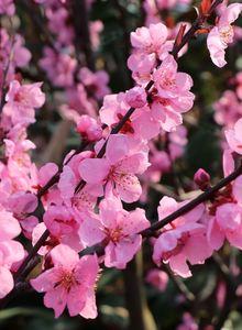 Persische Mandel 'Spring Glow'