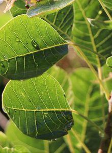 Perückensträucher (Cotinus)