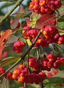 Pfaffenhütchen / Gemeiner Spindelbaum