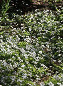 Pfingst Veilchen 'Albiflora'