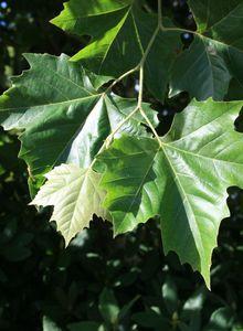 Silberbaumartige (Proteales)