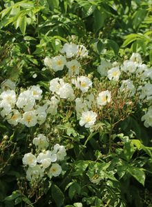 Ramblerrose 'Bobby James'