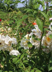 Ramblerrose 'Lykkefund'