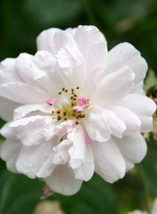 Ramblerrose 'Paul's Himalayan Musk Rambler'