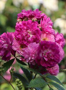 Ramblerrose 'Perennial Blue' ®