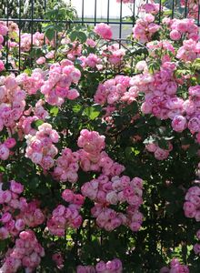 Ramblerrose 'Raubritter'