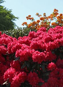 Rhododendron 'Astrid'  (S)