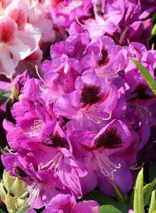 Rhododendron 'Bariton'