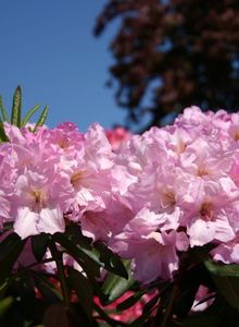 Rhododendron 'Bellefontaine'