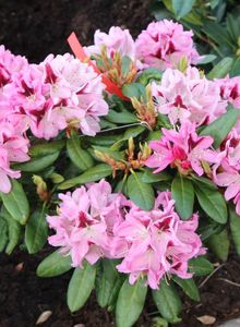 Rhododendron 'Kalamaika'