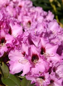 Rhododendron 'Mercator'