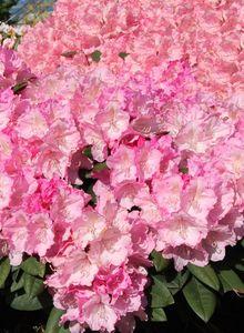 Rhododendron 'Polaris'