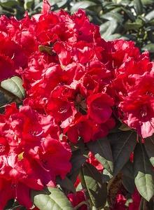 Rhododendren (Rhododendron)