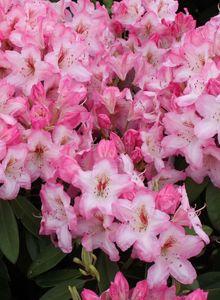 Rhododendron 'Ulrike Jost'