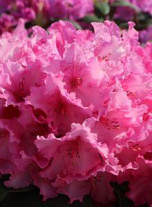 Rhododendron 'Walküre' ®