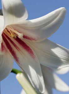 Riesenlilien (Cardiocrinum)