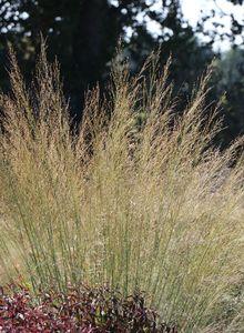 Pfeifengräser (Molinia)