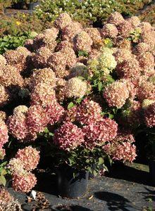 Hortensiengewächse (Hydrangeaceae)