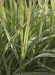Glanzgräser (Phalaris)